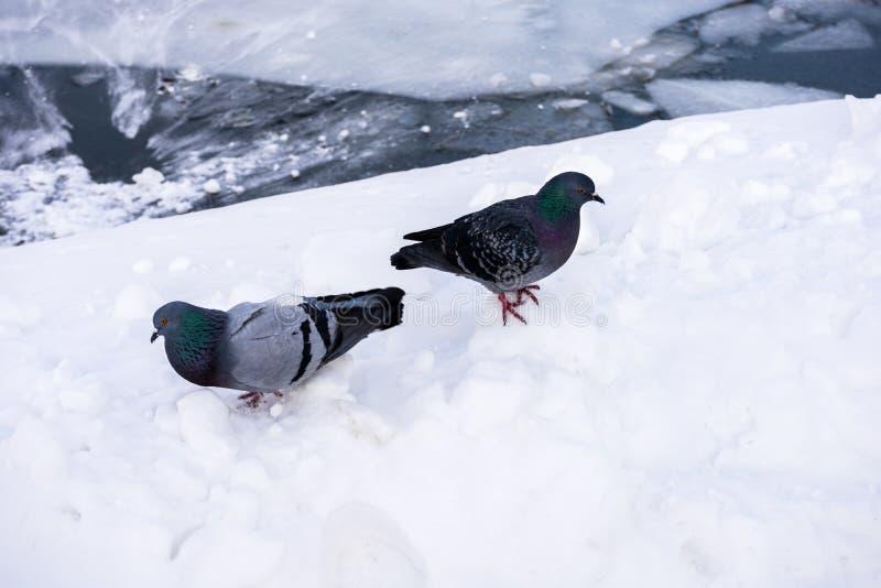 Deux pigeons dans la neige à la rivière congelée photographie stock