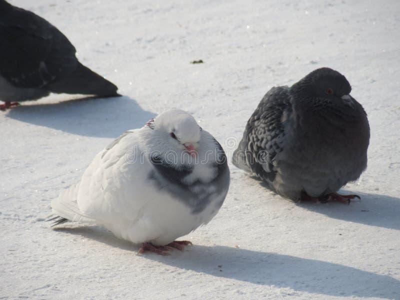 Deux pigeons dans la neige photo libre de droits