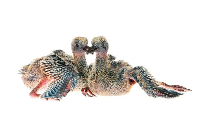 Deux pigeons de bébé d'isolement sur le fond blanc images libres de droits