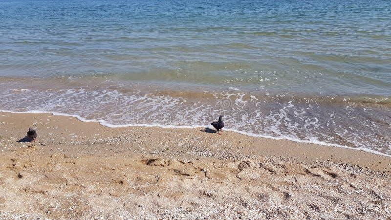 Deux pigeons marchent par le littoral de ressac de mer de la plage de la Mer Noire photo libre de droits