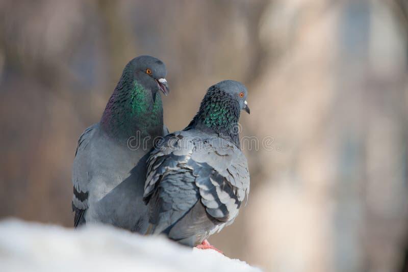 Deux pigeons sur la neige photos libres de droits