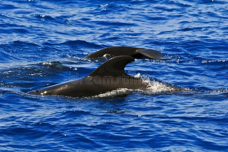 Deux pilote Whales, montrant l'aileron dorsal et l'aileron de queue image libre de droits