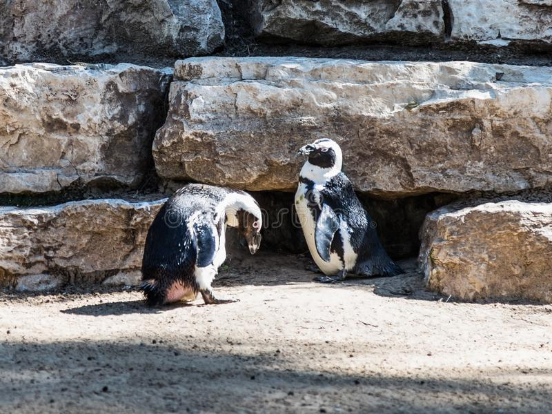 Deux pingouins africains se tiennent et se reposent un après-midi ensoleillé photographie stock libre de droits