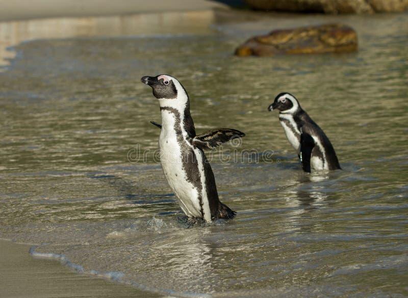 Deux pingouins africains sur la plage photos stock