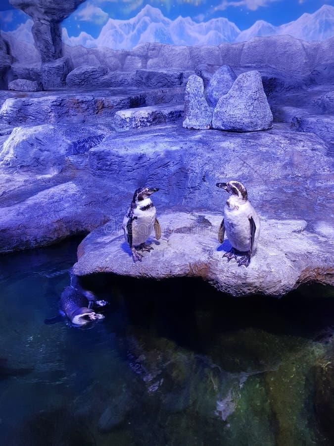 Deux pingouins se tiennent sur une roche et le tiers nage sous l'eau images libres de droits