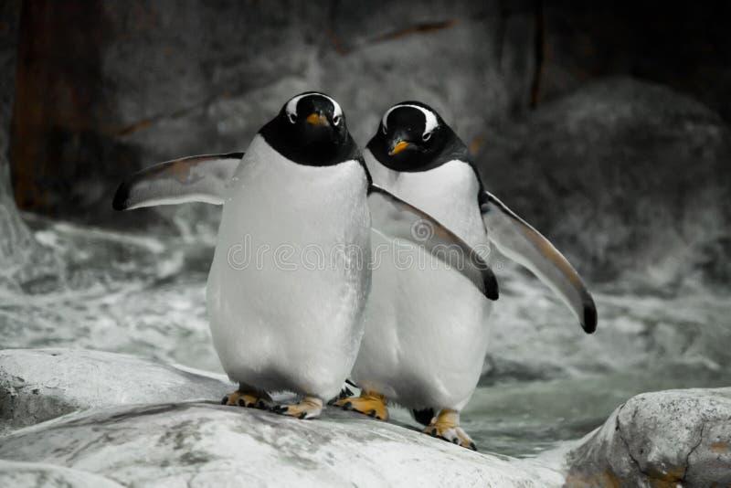 Deux pingouins tiennent c?te ? c?te des conjoints, un couple mari? ou les gros pingouins sous-antarctiques mignons d'amis se tien photo stock