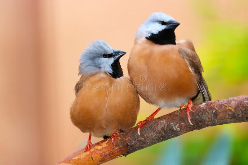 Deux pinsons mignons noir-throated ou de pasteur étant perché sur une branche étroitement ensemble côte à côte photos stock