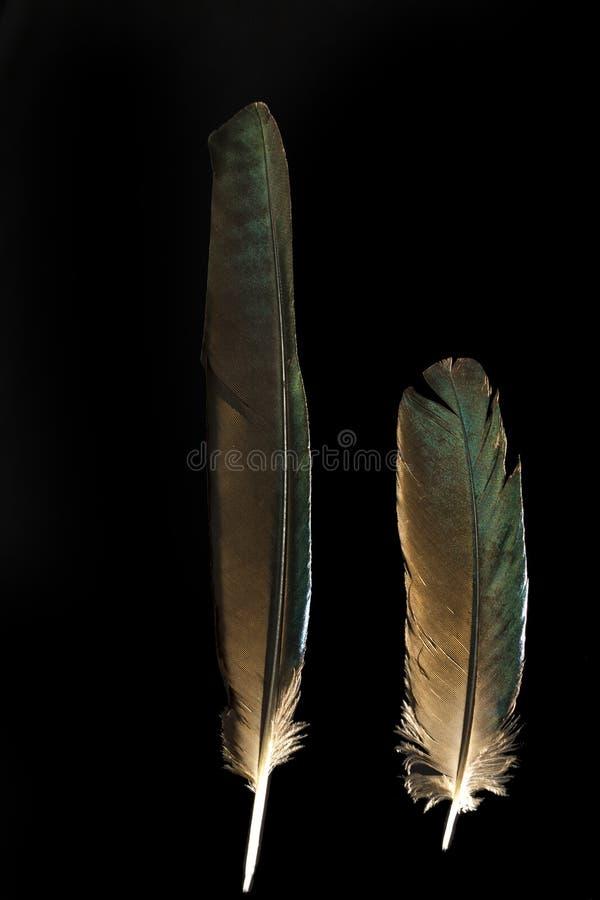 Deux plumes de caudatus brillant long-coupé la queue de Lamprotornis d'étourneau images libres de droits