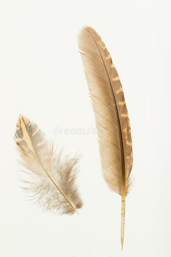 Deux plumes des cailles européennes, coturnix de coturnix image stock