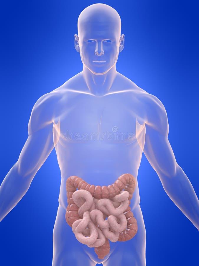 Deux points et intestins humains illustration stock