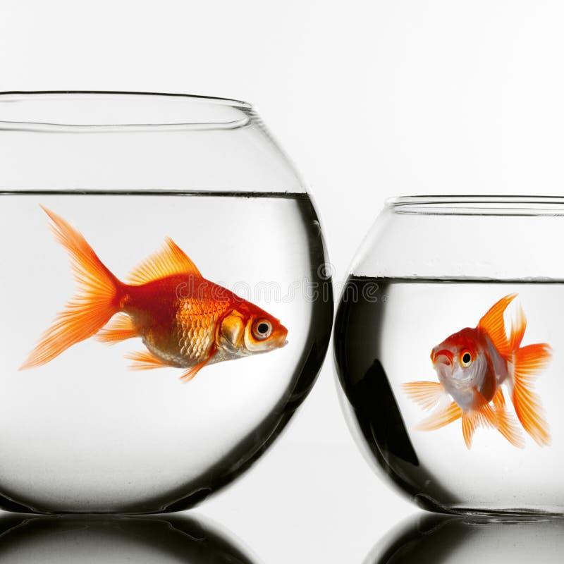 Deux poissons d'or dans des aquariums photos stock