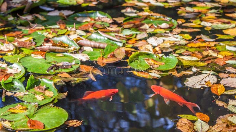 Deux poissons d'or se faisant face dans un étang avec l jaune tombé image libre de droits