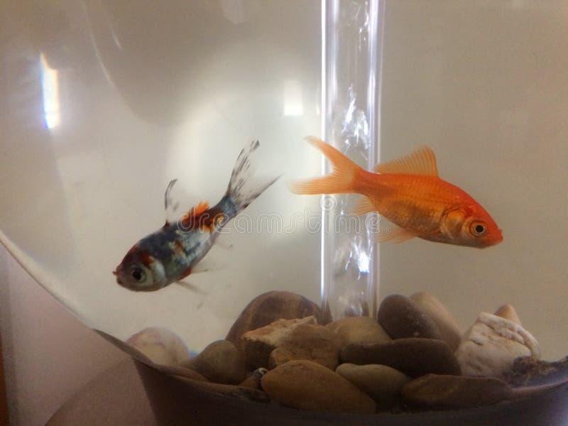 Deux poissons dans un réservoir circulaire photographie stock libre de droits