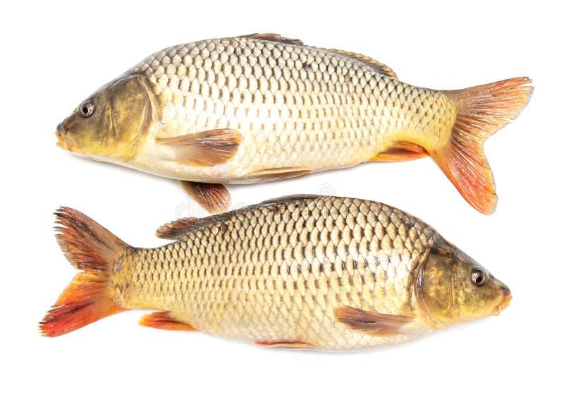 Deux poissons de carpe d'isolement sur le fond blanc photographie stock