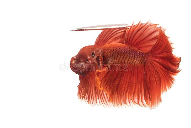 Deux, poissons de combat de betta rouge thaïlandais avec un combat féroce de position O photos stock