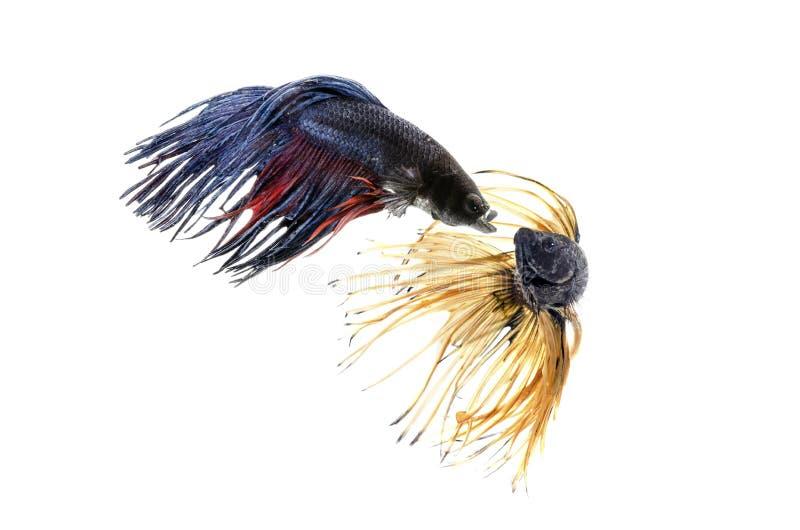 Deux poissons de combat siamois d'isolement sur le fond blanc image stock