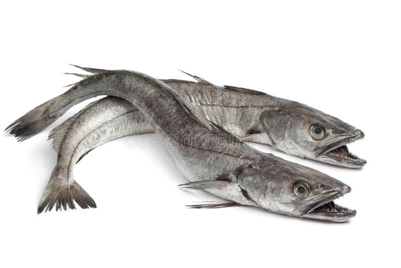 Deux poissons de merluches photographie stock libre de droits