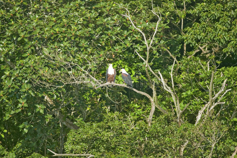 Deux poissons Eagle africains, comme notre Eagle chauve américain, sittng sur site de St Lucia Wetland Park World Heritage de bra photos stock