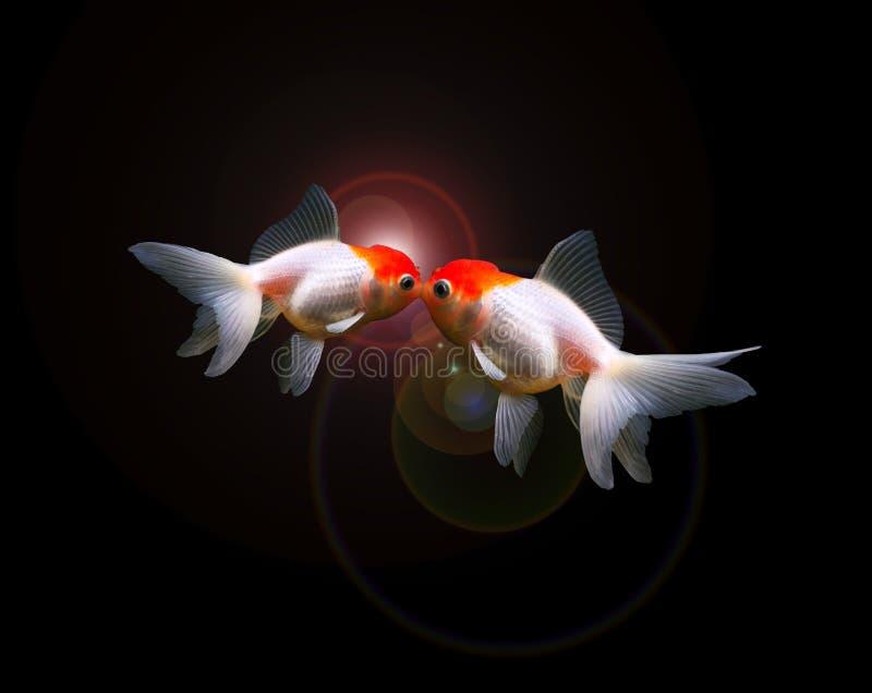 Deux poissons rouges d'isolement photographie stock
