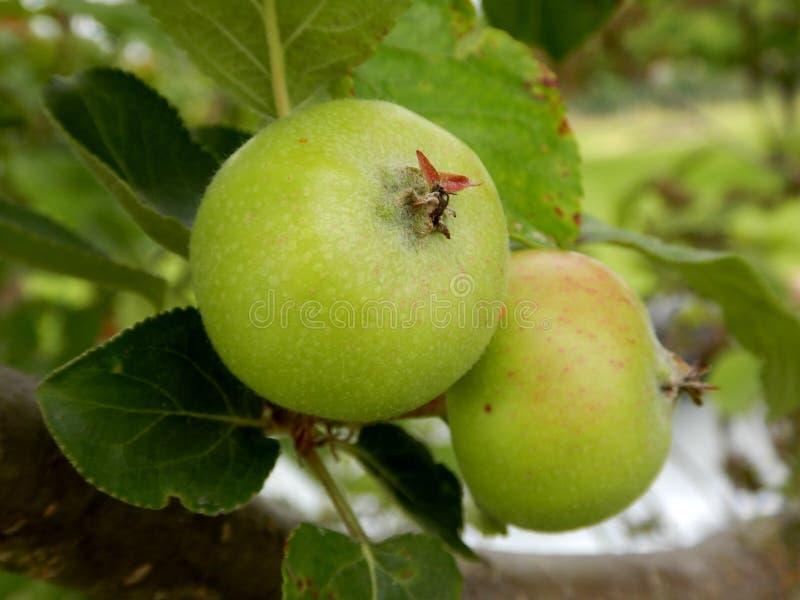 Deux pommes s'élevant sur l'arbre, la pomme verte et les feuilles image stock