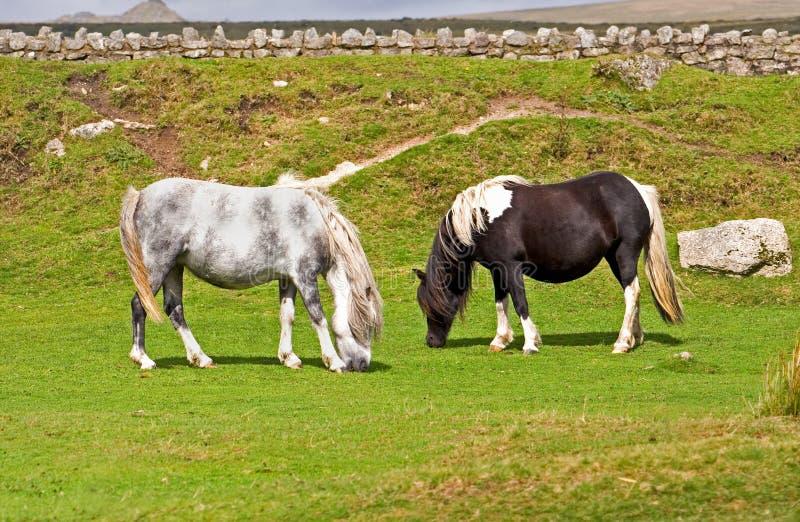 Deux poneys photo libre de droits