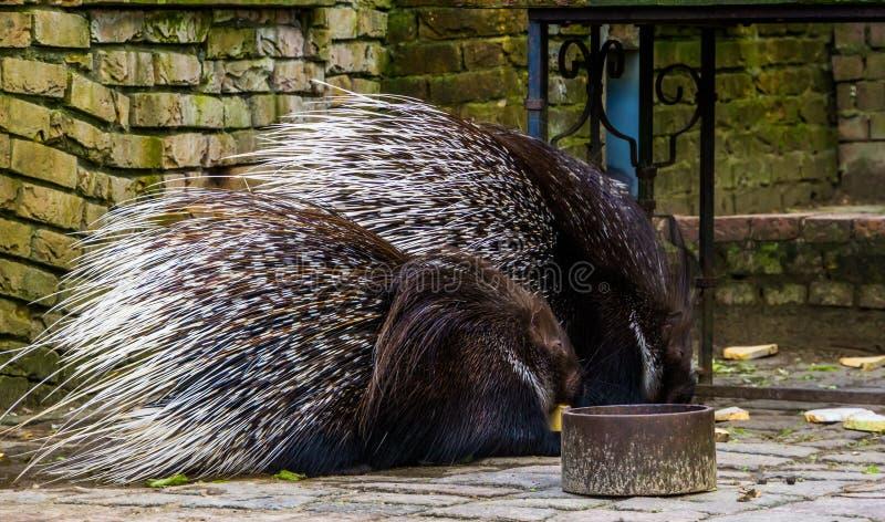 Deux porcs-épics crêtés mangeant du pain, rongeurs d'Afrique photographie stock