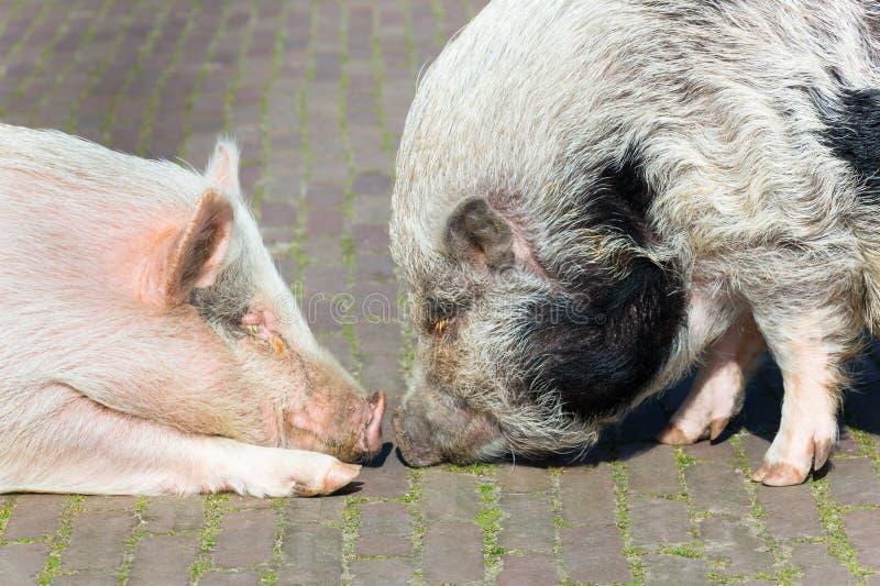 Deux porcs établissant le contact image stock