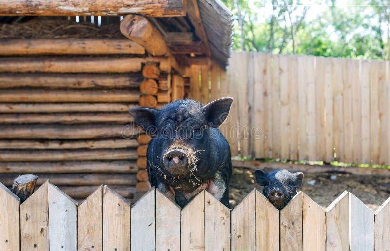 Deux porcs Parent et enfant photos stock