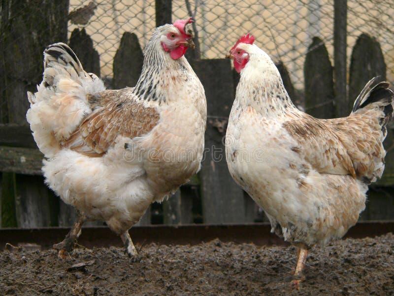 Deux poules blanches