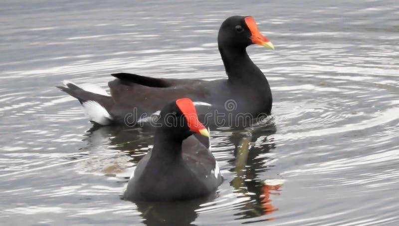 Deux poules d'eau communes de la Floride nageant dans le lac images libres de droits