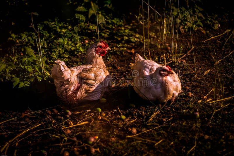 Deux poules pondant des oeufs images libres de droits