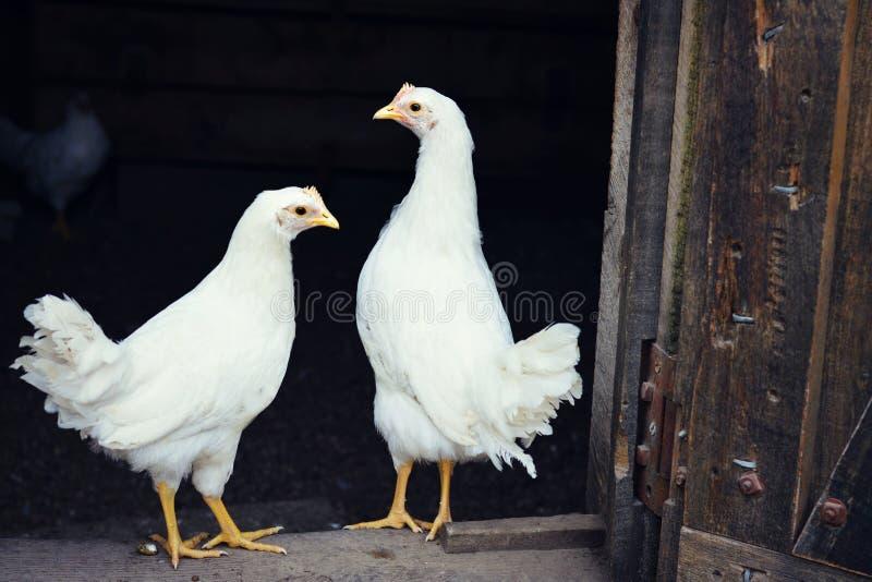 Deux poulets blancs images stock