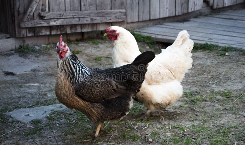 Deux poulets observent dans l'appareil-photo images stock