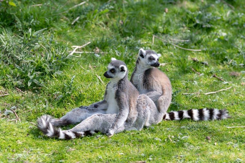 Deux que l'anneau a coupé la queue des lémurs se reposent sur l'herbe tandis qu'on toilette l'autre, empêchant d'entrer un reg image libre de droits