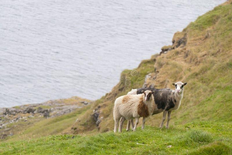 Deux RAM en île d'oer de faer image libre de droits