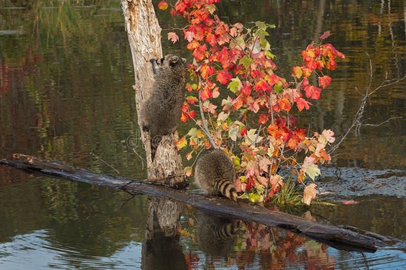 Deux ratons laveurs (lotor de Procyon) un arbre s'élevant images libres de droits