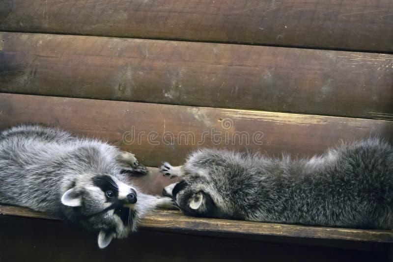 Deux ratons laveurs pelucheux drôles dans une cage en bois photo stock