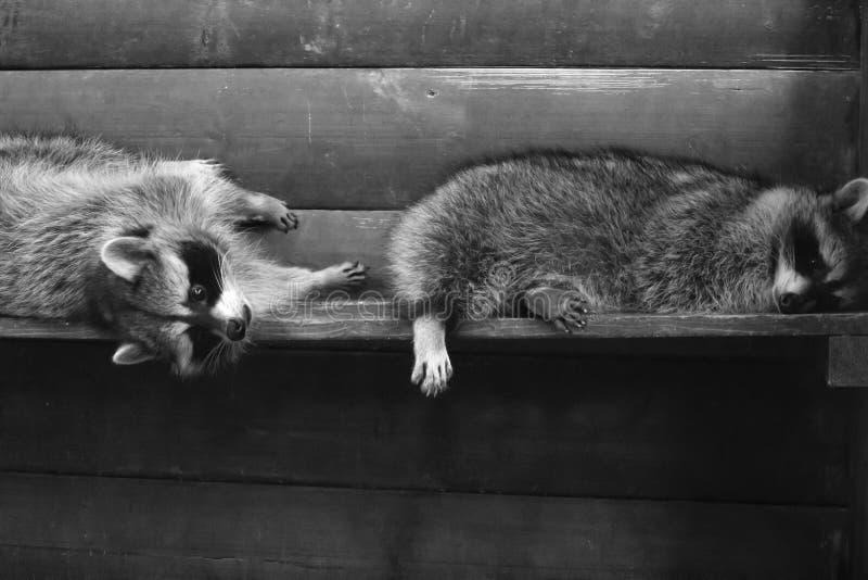 Deux ratons laveurs pelucheux drôles dans une cage en bois photographie stock libre de droits