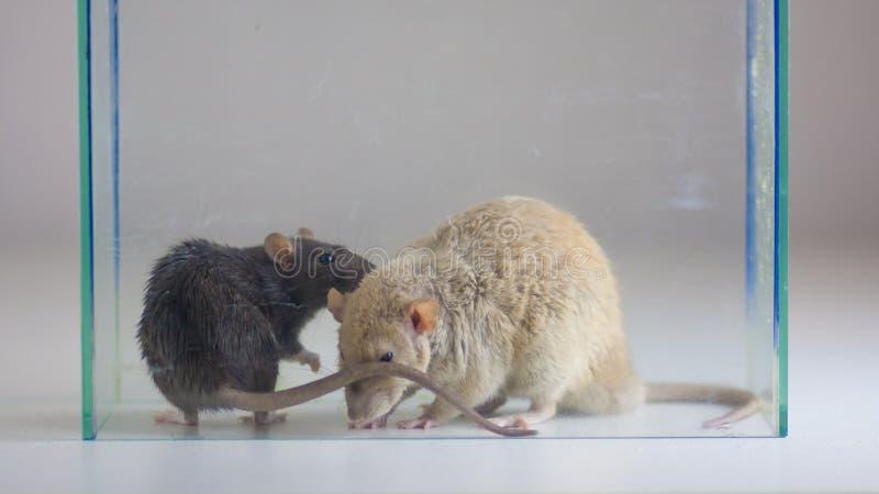 Deux rats dans la mini-serre Souris derrière le verre Les animaux reniflent photos stock