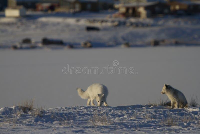 Deux renards arctiques jouant et chassant près d'un repaire au printemps image libre de droits