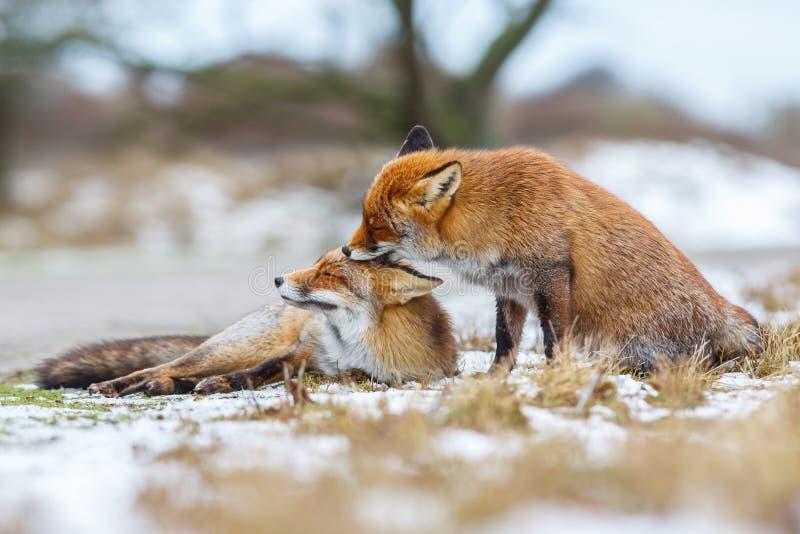 Deux renards rouges image stock