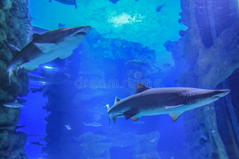 Deux requins de sable nageant dans l'eau bleue images stock