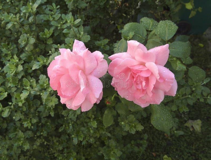 Deux roses roses photo libre de droits