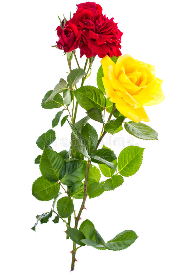 Deux roses rouges et jaunes sur le fond clair images stock