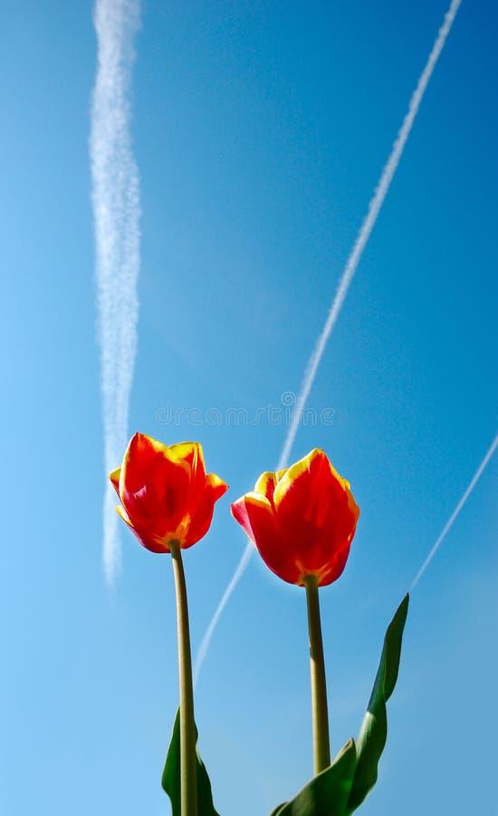 Deux rouges et tulipes jaunes sur le beckground de ciel images libres de droits