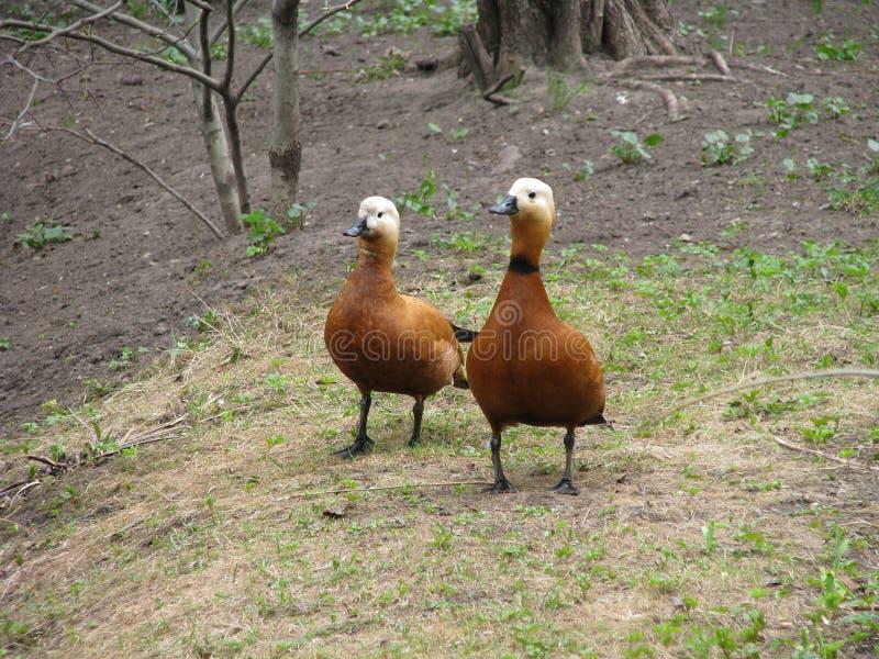 Deux Ruddy Shelduck en parc photo libre de droits