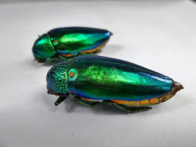 Deux scarabées de bijou de scintillement sur le fond blanc images libres de droits