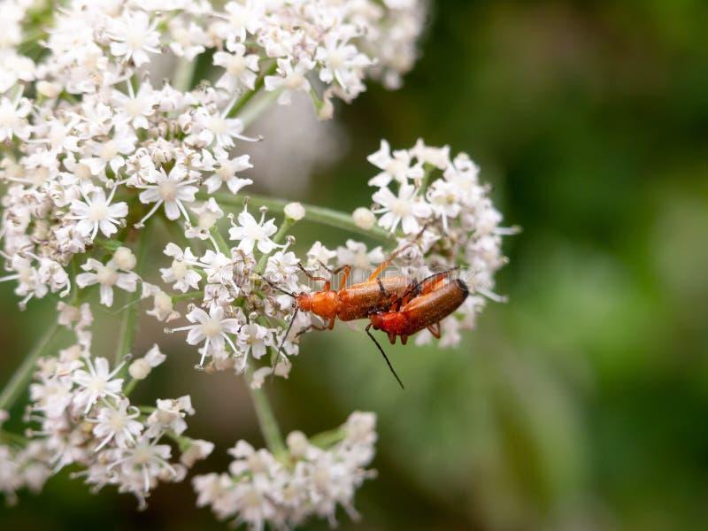 Deux scarabées rouges de soldat sur les fleurs blanches de persil de vache se ferment  images libres de droits