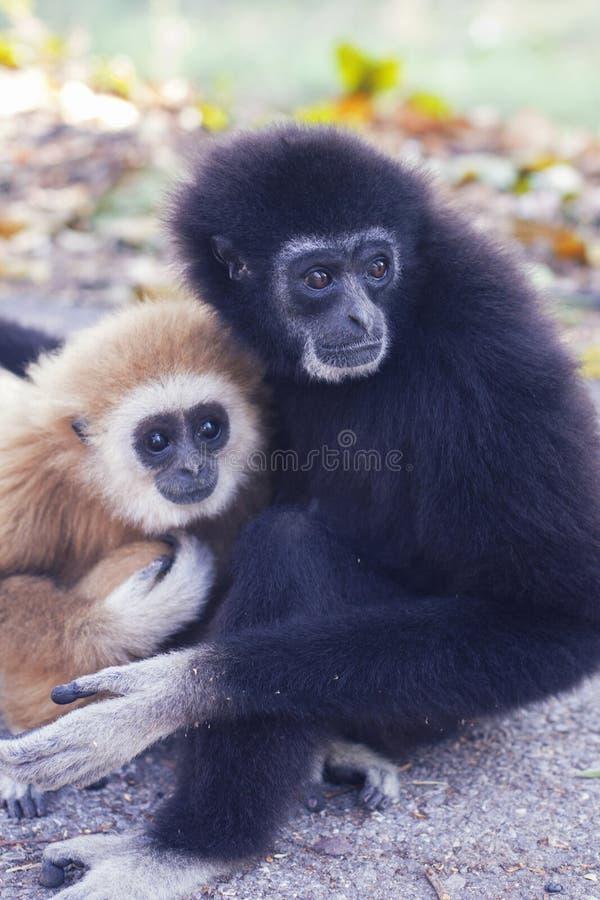 Deux singes photo libre de droits