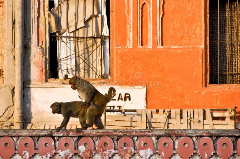 Deux singes ayant le sexe, Jaipur, l'Inde. image stock